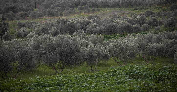 View of fields of olive trees in the lower Galilee, on February 7, 2019. Photo by Hadas Parush/Flash90 *** Local Caption *** ???? ??? ??? ???? ????? ??? ????? ??? ???? ????? ????